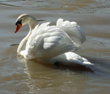 medium_cygne_IMG_5852.2.jpg