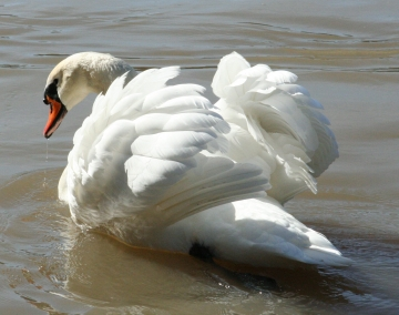 medium_cygne_IMG_5853.2.jpg