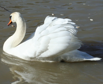 medium_cygne_IMG_5854.jpg