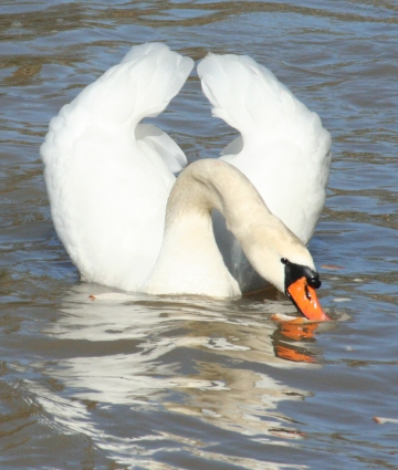 medium_cygne_IMG_5866.2.jpg