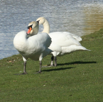 medium_cygne_IMG_5886.jpg