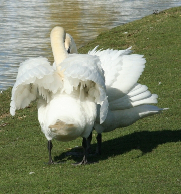 medium_cygne_IMG_5887.jpg