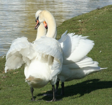 medium_cygne_IMG_5889.jpg