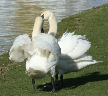medium_cygne_IMG_5891.jpg