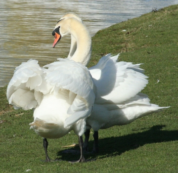 medium_cygne_IMG_5892.jpg