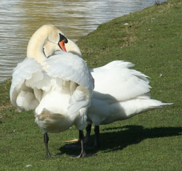 medium_cygne_IMG_5893.jpg