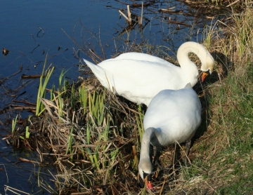 medium_cygne_IMG_5922.jpg