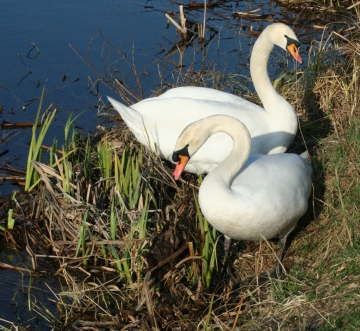 medium_cygne_IMG_5924.jpg