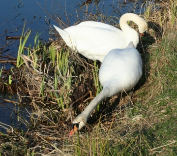 medium_cygne_IMG_5925.jpg