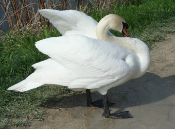 medium_cygne_IMG_5948.jpg
