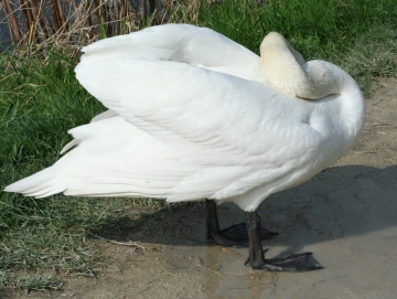 medium_cygne_IMG_5949.jpg