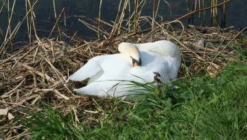 medium_cygne_IMG_5950.jpg