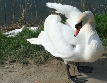 medium_cygne_IMG_5951.jpg