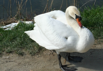 medium_cygne_IMG_5953.jpg