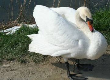 medium_cygne_IMG_5954.jpg