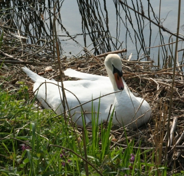 medium_cygne_IMG_5956.jpg