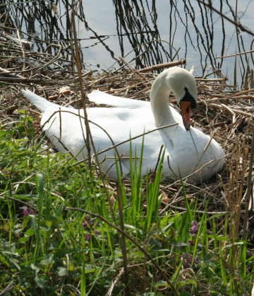 medium_cygne_IMG_5957.jpg