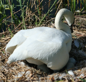 medium_cygne_IMG_6593.jpg
