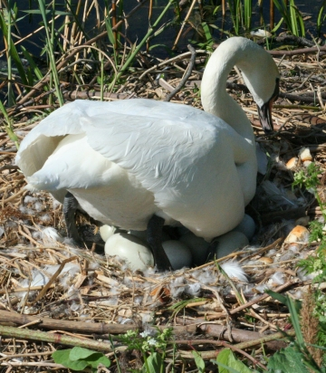 medium_cygne_IMG_6594.jpg