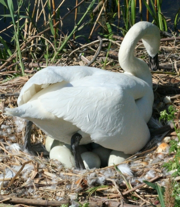 medium_cygne_IMG_6597.jpg