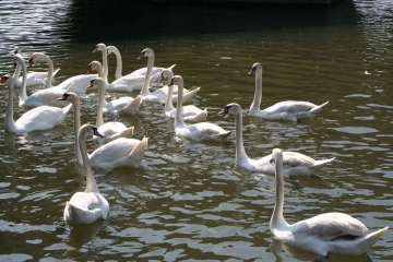 medium_cygne_img_0110.2.jpg