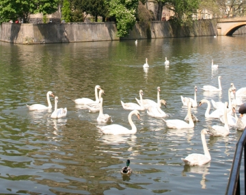 medium_cygne_img_0112.2.jpg
