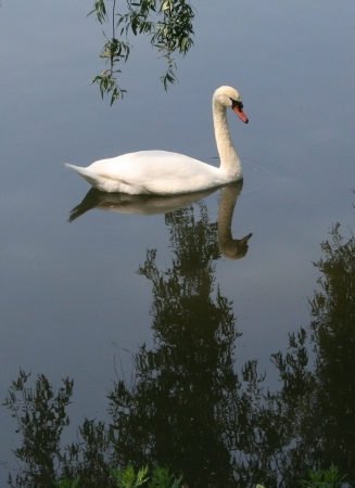 medium_cygne_img_0471.2.jpg