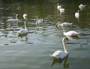 medium_cygne_img_3019.jpg