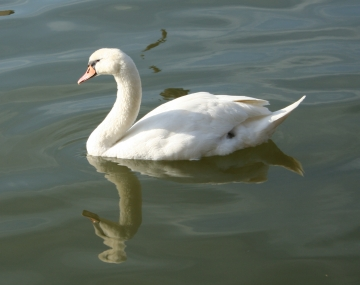 medium_cygne_img_3020.jpg