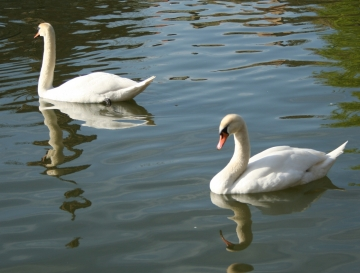 medium_cygne_img_3022.jpg
