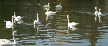 medium_cygne_img_3023.jpg