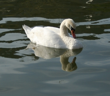 medium_cygne_img_3025.jpg