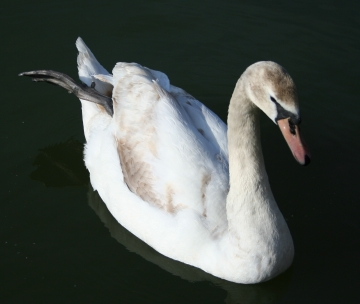 medium_cygne_img_3029.jpg