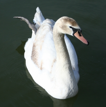 medium_cygne_img_3030.jpg