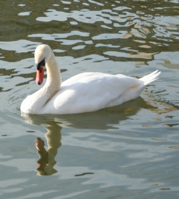 medium_cygne_img_3031.jpg