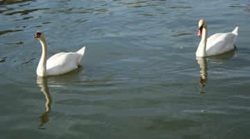 medium_cygne_img_3032.jpg