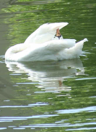 medium_cygne_img_3179.jpg