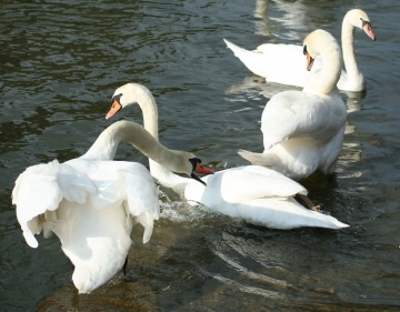 medium_cygne_img_3244.jpg