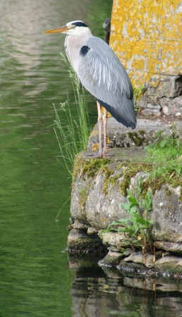 medium_heron_cendre_img_3233.jpg