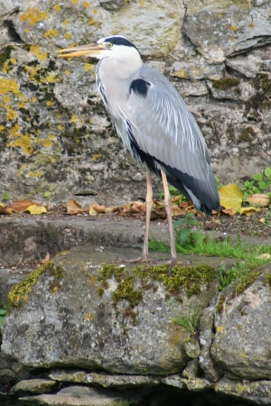 medium_heron_cendre_img_3238.jpg