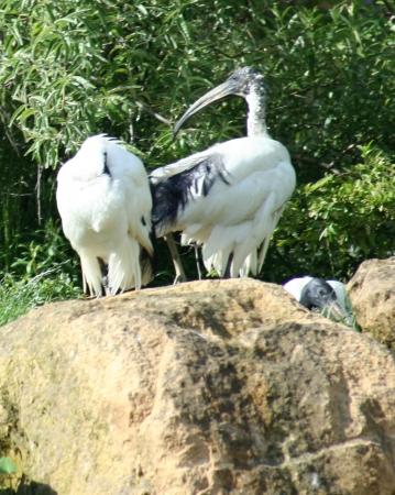 medium_ibis_sacre_IMG_3515.jpg