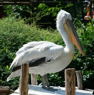 medium_pelican_frise_IMG_3792.jpg