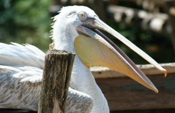 medium_pelican_frise_IMG_3793.jpg