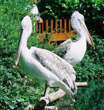 medium_pelican_frise_img003.jpg
