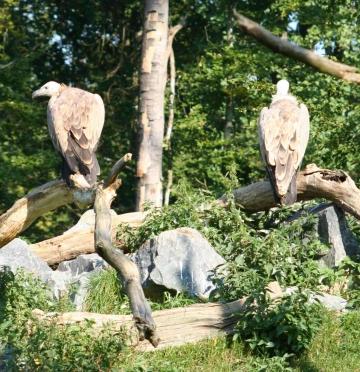medium_vautour_fauve_img_2341.jpg